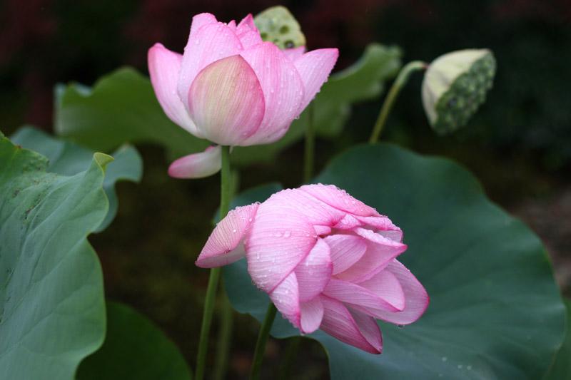 Carnet japonais faraway - Fleur de lotus bouddhisme ...